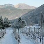 Vines in the Snow